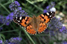 В Курской области наблюдается большое количество бабочек