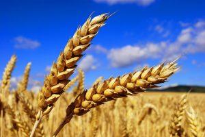 Уборка зерновых завершена
