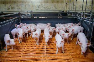 В Курской области уничтожат более двух тысяч свиней