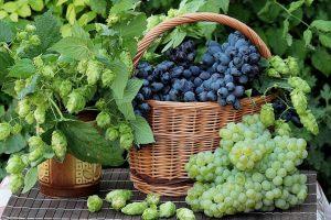 Выращиваем виноград из черенков