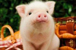 В Курской области ликвидировали очаг африканской чумы свиней