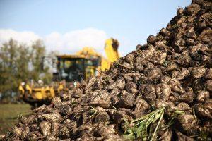 В Курской области собрали более миллиона тонн сахарной свеклы