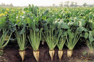 Курская область третья в России по урожайности сахарной свеклы