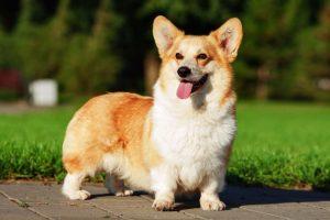 Курянка хотела купить собаку английской королевы, но попала на мошенницу