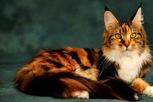 В Курске покажут экзотических кошек