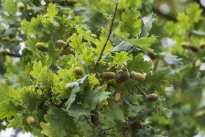 В Курской области спилили четыре вековых дуба