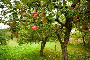 Нестабильная весна может повлиять  на урожай фруктов