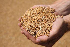В Курской области проверили на качество 122 тонны посевных семян