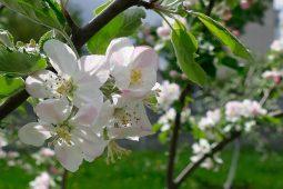 В Курской области зацветет сад Победы