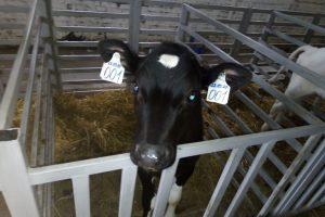 В Курской области выращивают датских коров