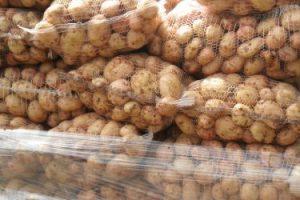 Из Курской области вывезли 3,5 тонны подкарантинного картофеля