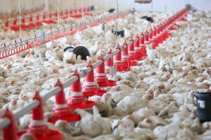 В Курской области внепланово проверили птицефабрику
