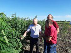 В Курской области в промышленных целях выращивают коноплю