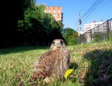 В студгородке ЮЗГУ поселилась птица из Красной книги Курской области