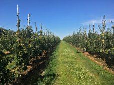 В Курской области расширят площадь для выращивания яблок