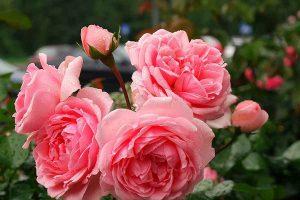15 роз – как с куста