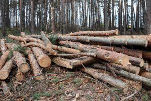 Проводят санитарную рубку леса