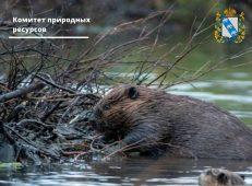 В Курском районе браконьер охотился на бобра