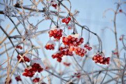 В Курской области сохранятся морозы без снега