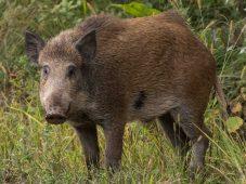 В Курской области браконьер застрелил кабана и косулю