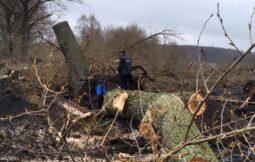 В курском селе остановили вырубку тополей