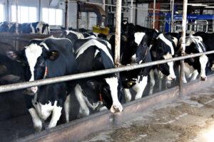 Учёные выращивают  коров без рогов