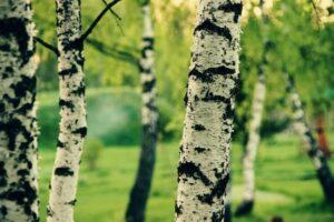 Возле больницы в Курске вырубят семь деревьев ради парковки