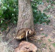 В Курске спилили более 400 аварийных деревьев