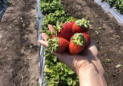 В Курской области фермер за месяц собрала тонну клубники